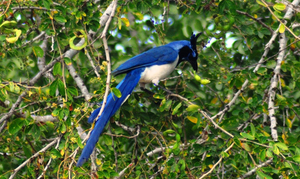Black-Throated Magpie Jay, Ricardo Urquijo