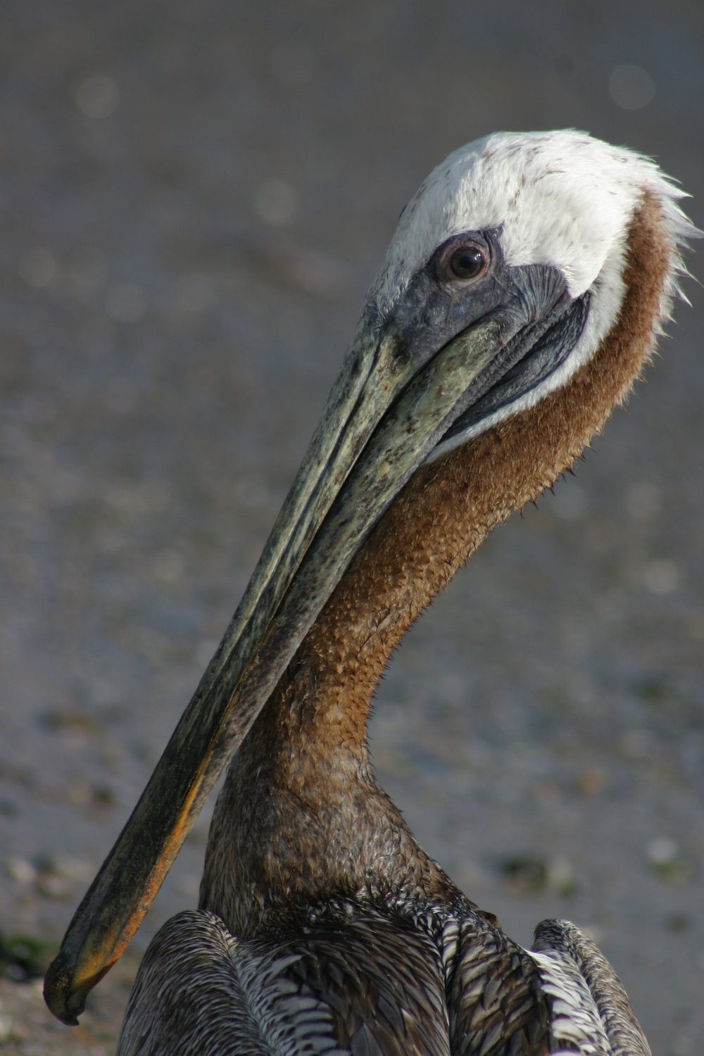 - The brown pelican