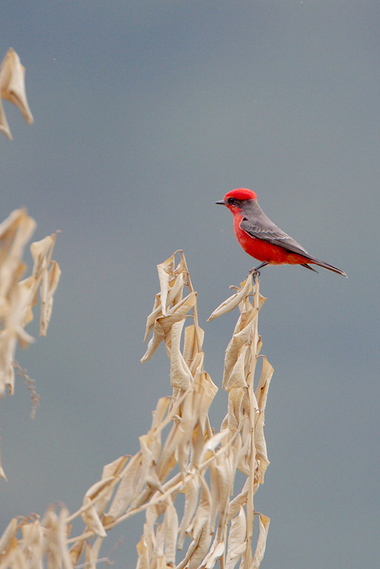 Vermillion Flycatcher, R. Valdéz