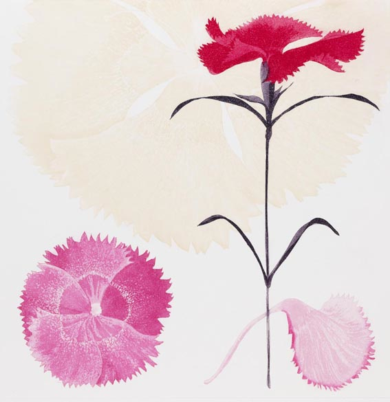 Dianthus I, etching, 47 cm x 32 cm  [30 cm x 30 cm] Edition of 40.jpg