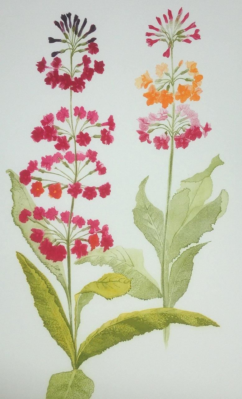 Grainne Cuffe- Primula Candelabra II.jpeg