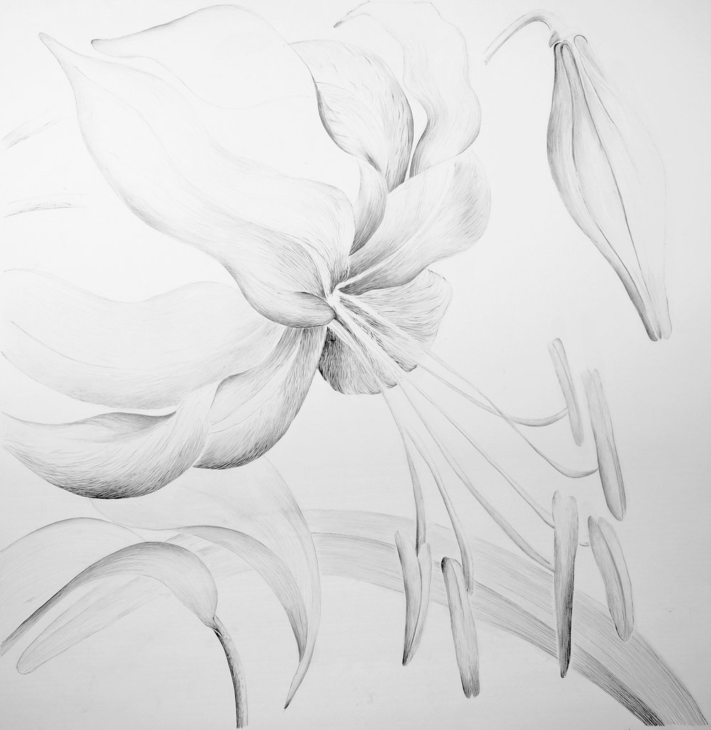 Butter Lily, Graphite on Sommerset, 106 x 102 cm, € 1755 framed price