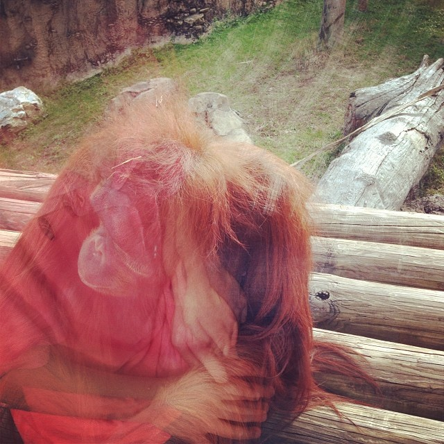 """I told him """"cheer up .. Gingers are awesome!"""" Didn't seem to help the depressed orangutan. (at Jungala)"""