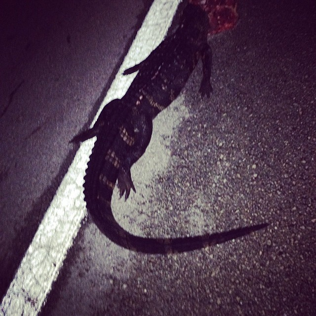 12:45 AM either the chupacabra got another victim or somebody is driving down the road with 1/2 a gator on their bumper… only in Florida.