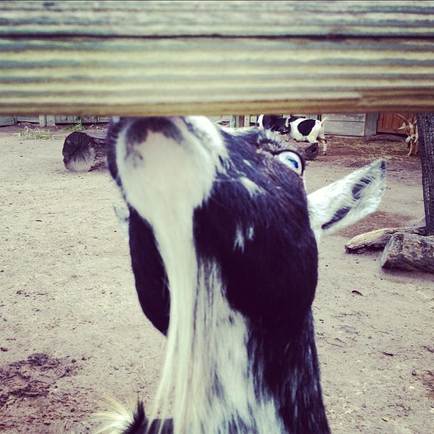 """Someone named Bryan fellows just walked by & told me """"your goat got devil eyes..!"""" (at Lowry Park Zoo)"""