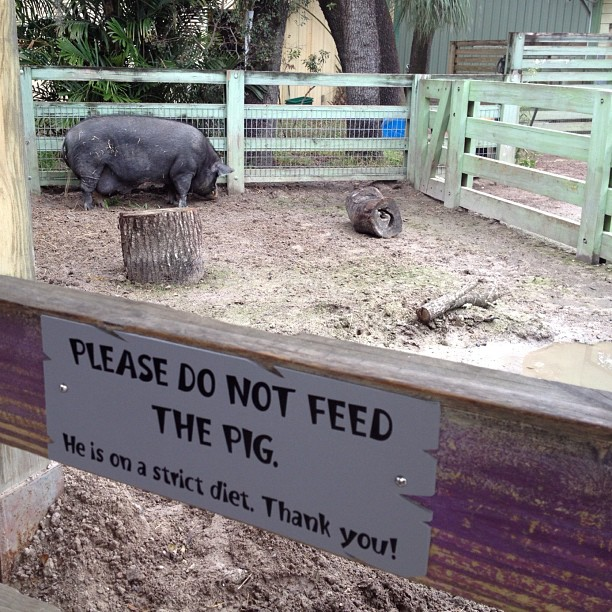 """""""Please don't feed the pig he's on a strict diet"""" of what? Krispy Kreme & mt dew? (at Lowry Park Zoo)"""