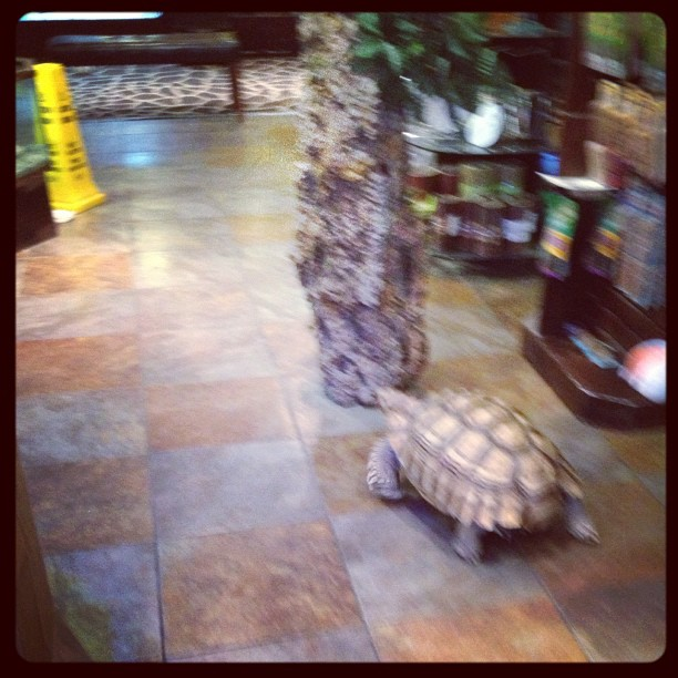 My goals for today are: 1. drive to Tampa for flavor Fest 2. Eat ridiculous amounts of Cuban food 3. Figure out why this turtle was walking around my store… (Taken with Instagram at Pet Kingdom)