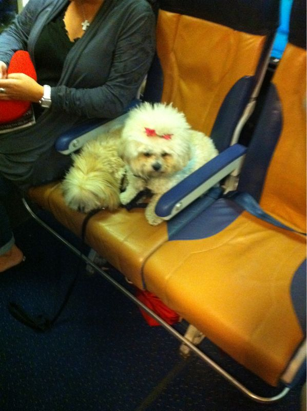 Just landed in Chicago for get Motiv and this lady bought her dog a ticket/seat on the plane.. WOW.