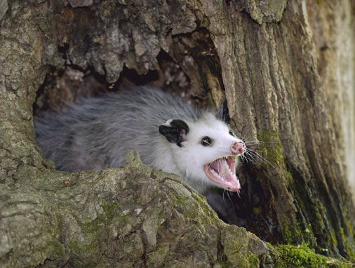 Saw a possum the size of a dog outside my house.. Got a feeling my trash will be all over my lawn tommorrow.
