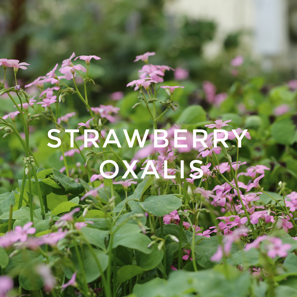 -3Strawberry Oxalis.jpg