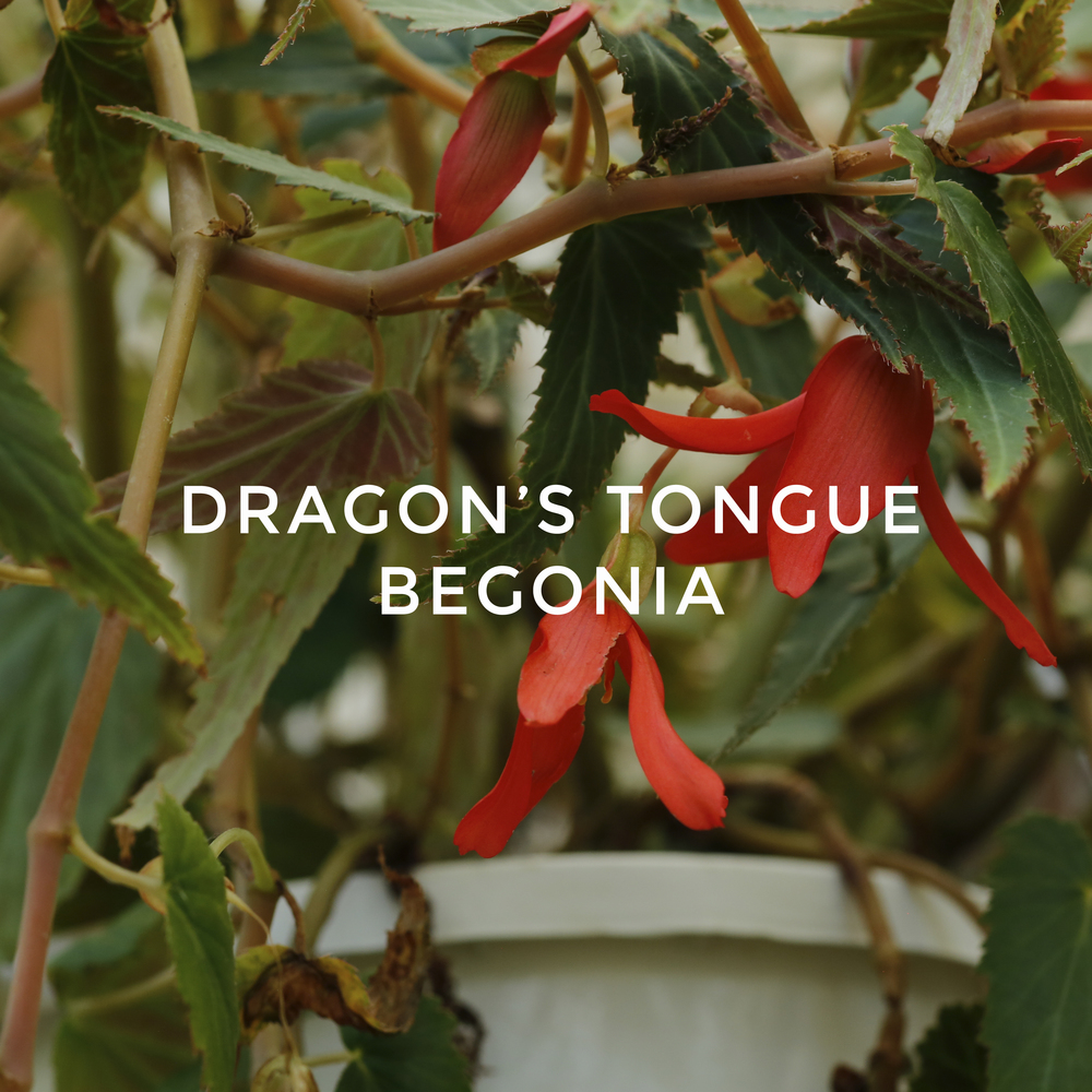 -15 Dragon's Tongue Begonia.jpg