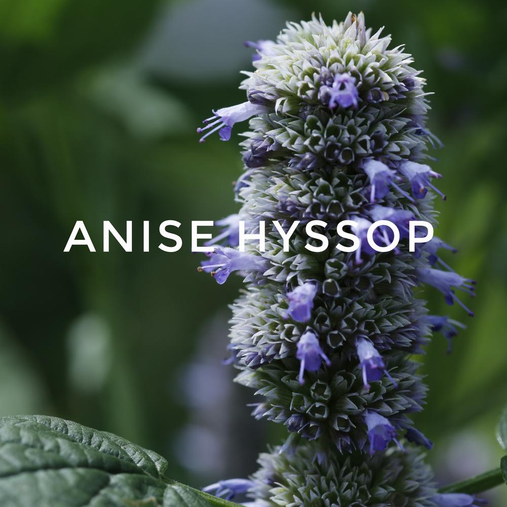 -21Anise Hyssop.jpg