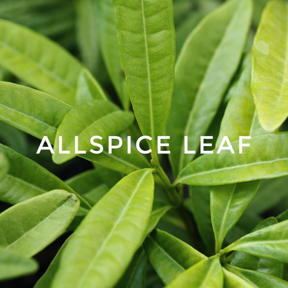 -32Allspice Leaf.jpg