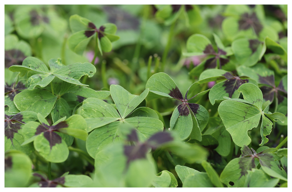 Iron Cross Oxalis