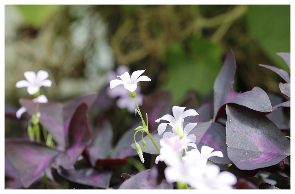 Large Leaf Purple Oxalis
