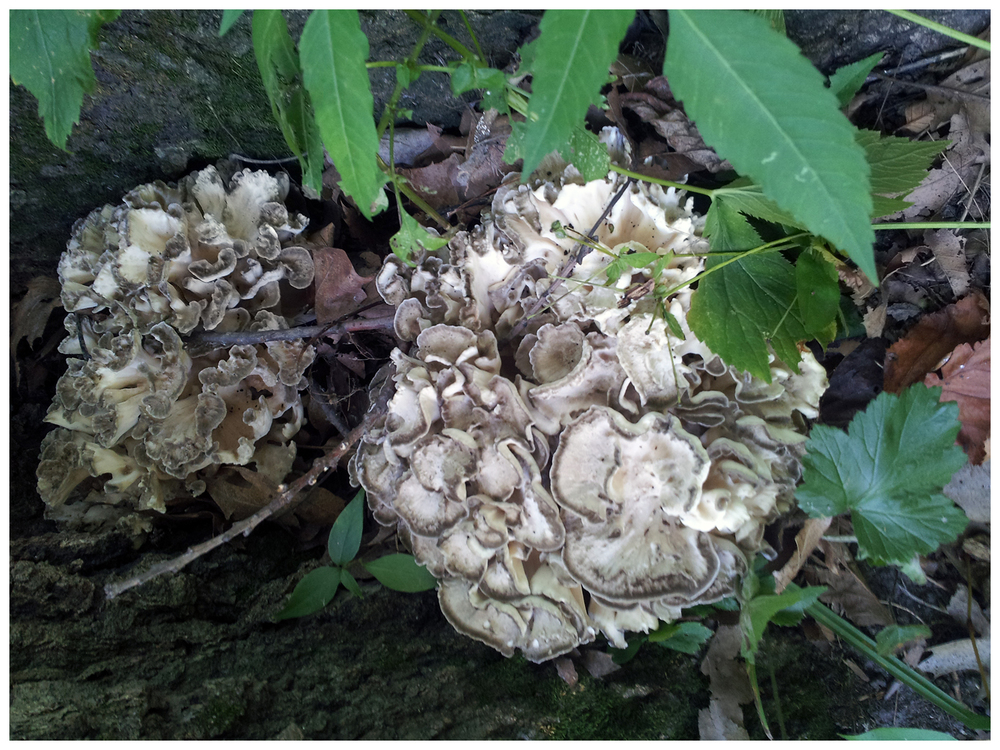 Wild Maitake Mushrooms