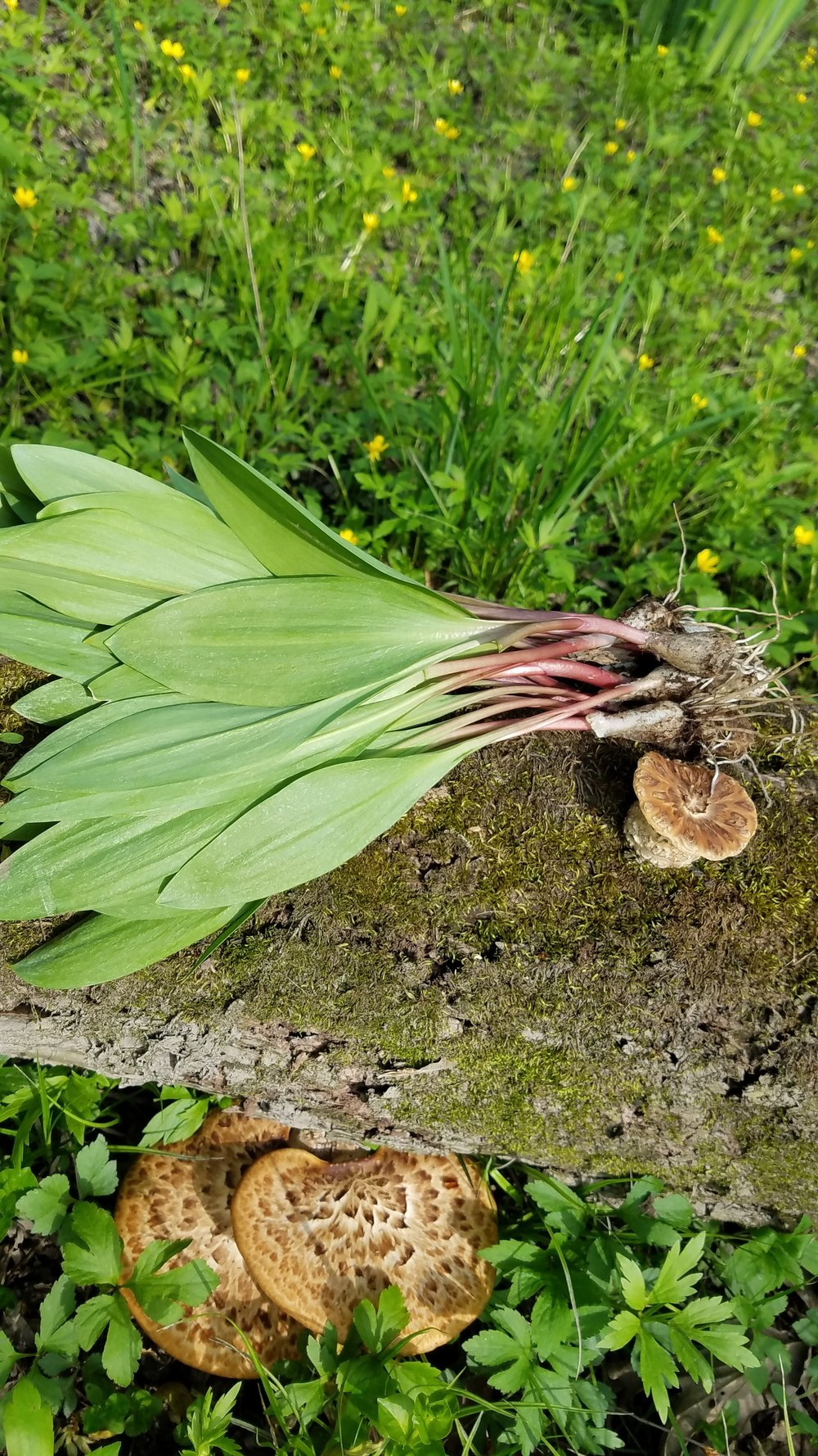 Ramps and Pheasant Back Mushrooms