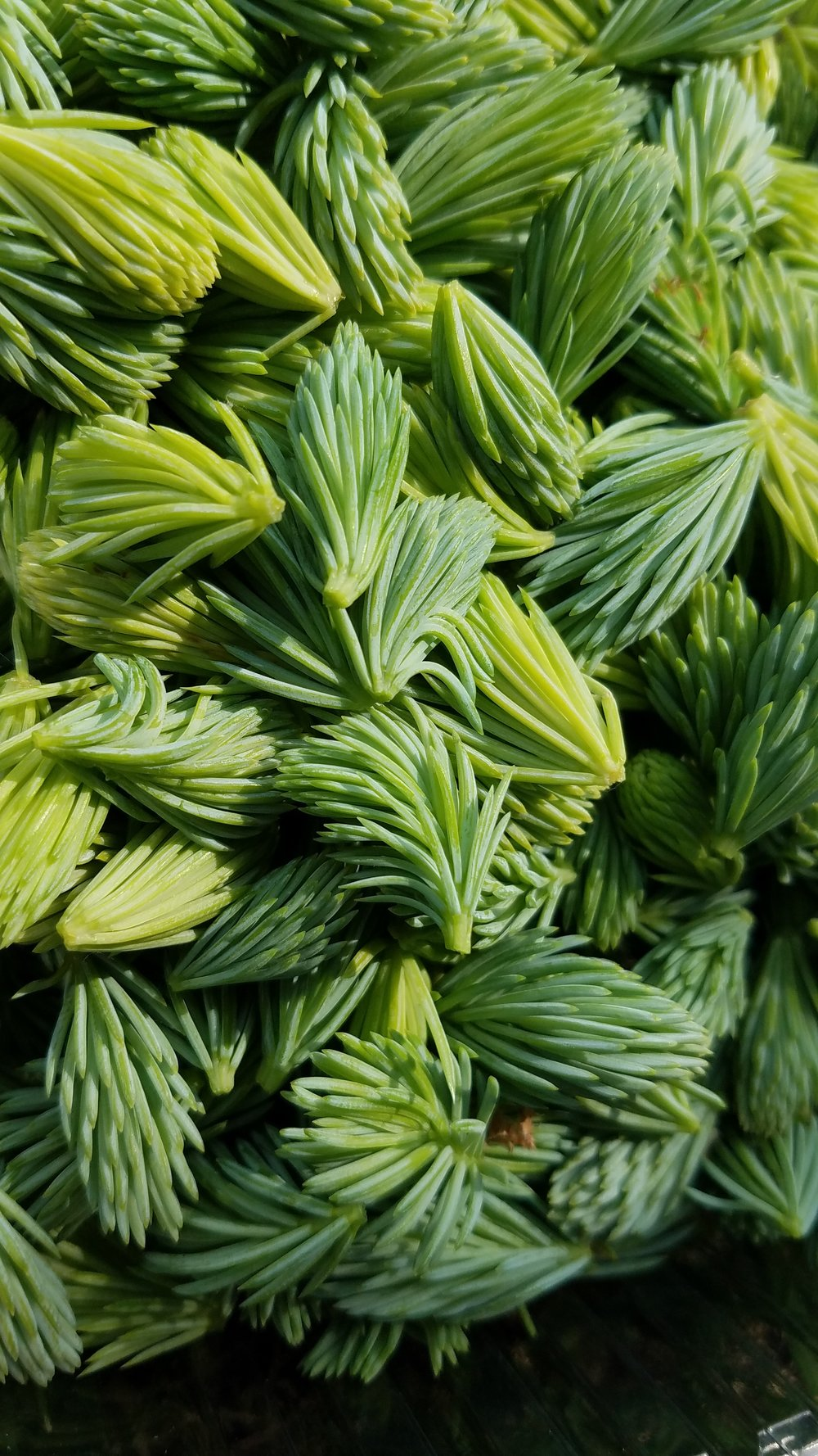 Spruce Tips