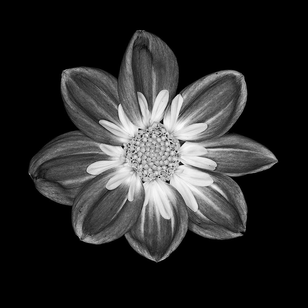 Dahlia No. 2_2D.jpg