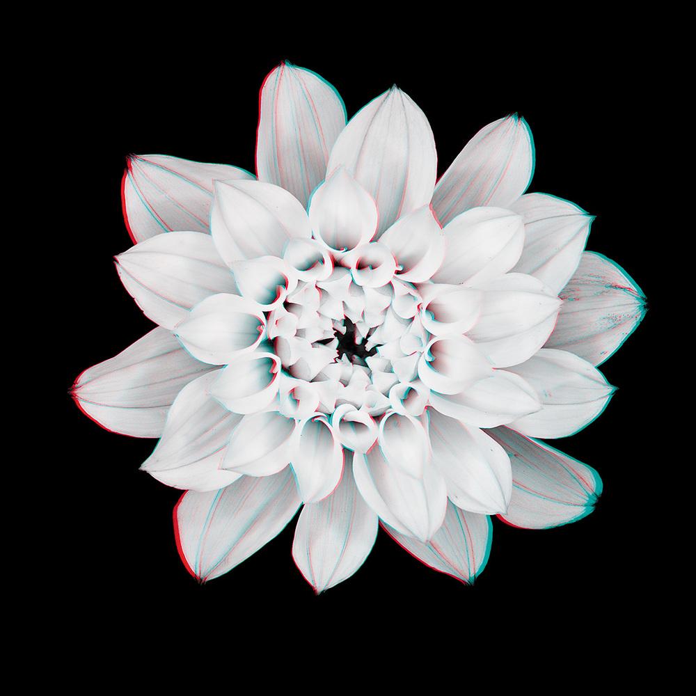 Dahlia No. 8_3D.jpg