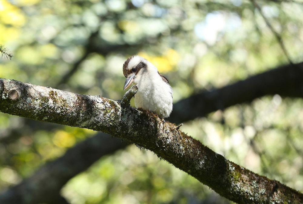 Kookaburra_1_lowres.jpg