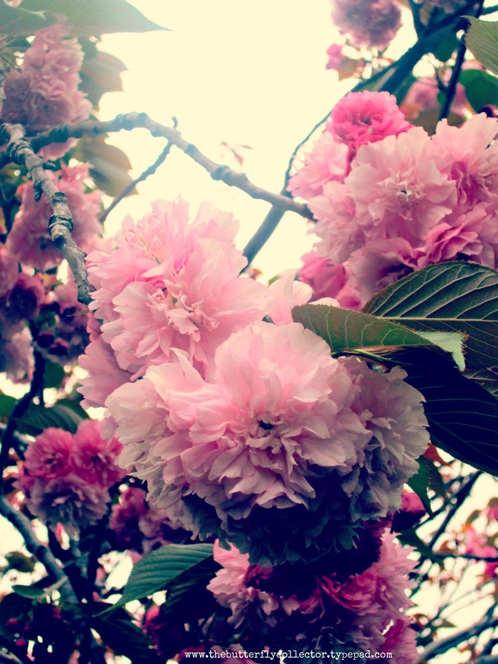 cloud blossoms .jpg