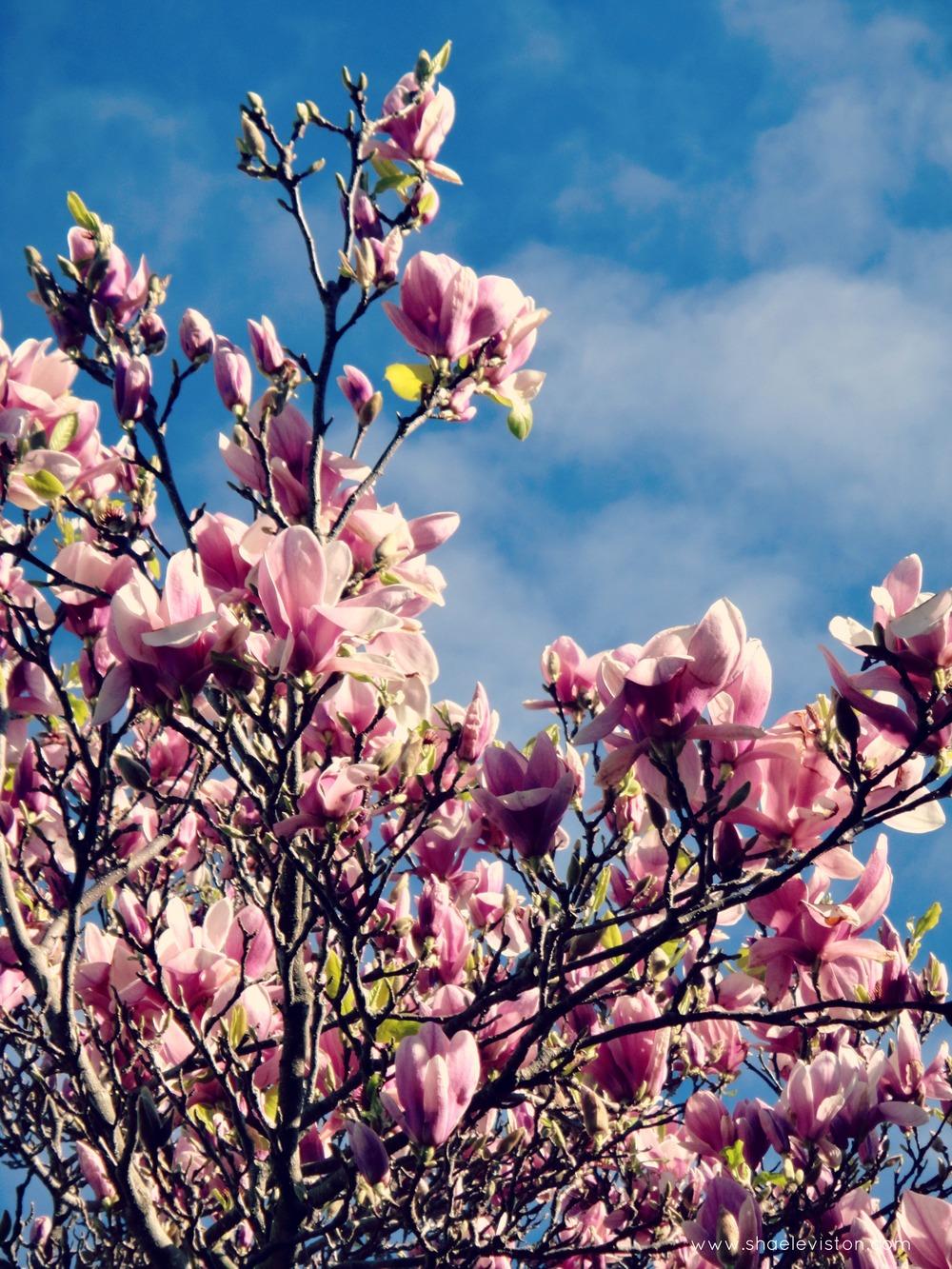 magnolia shae leviston2013.jpg