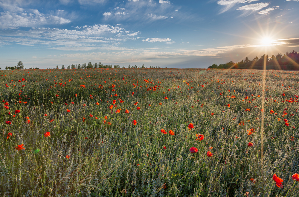 Poppy field in North Hertfordshire