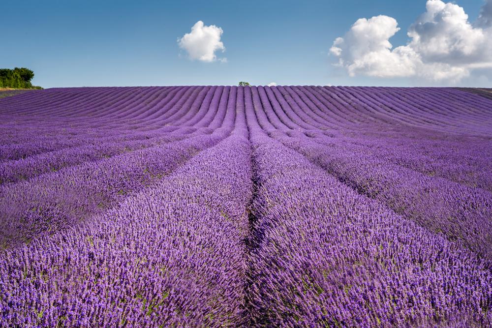 Lavender Field, Hertfordshire