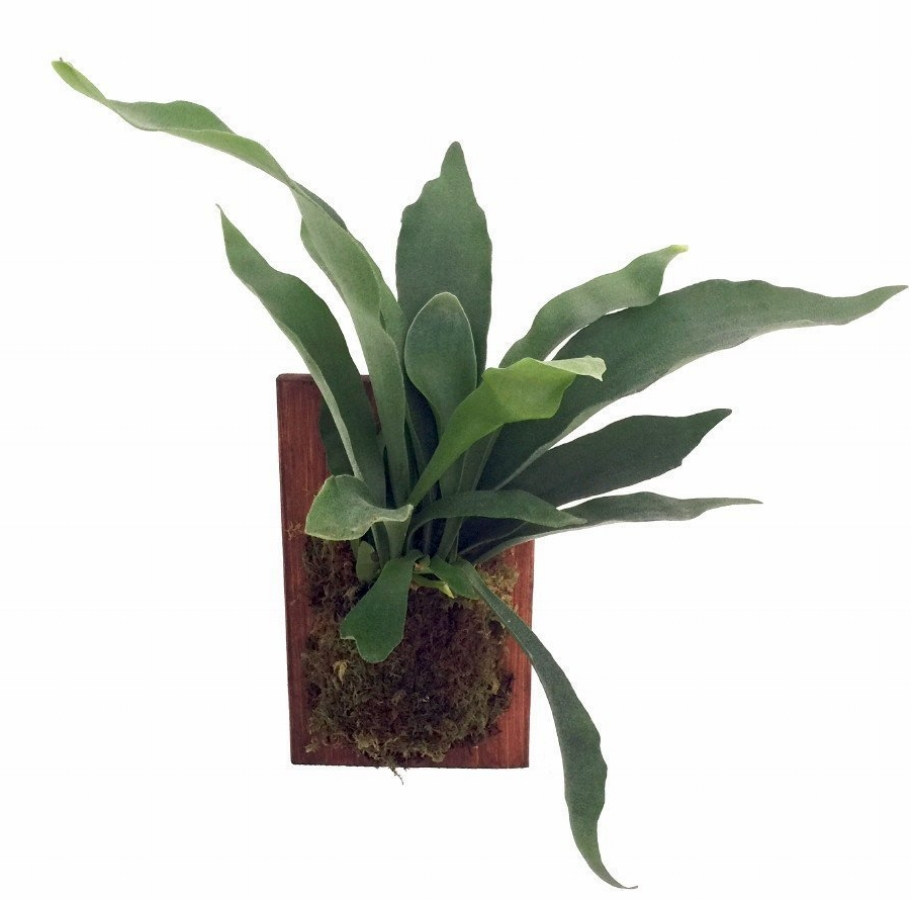 Staghorn Fern.jpg