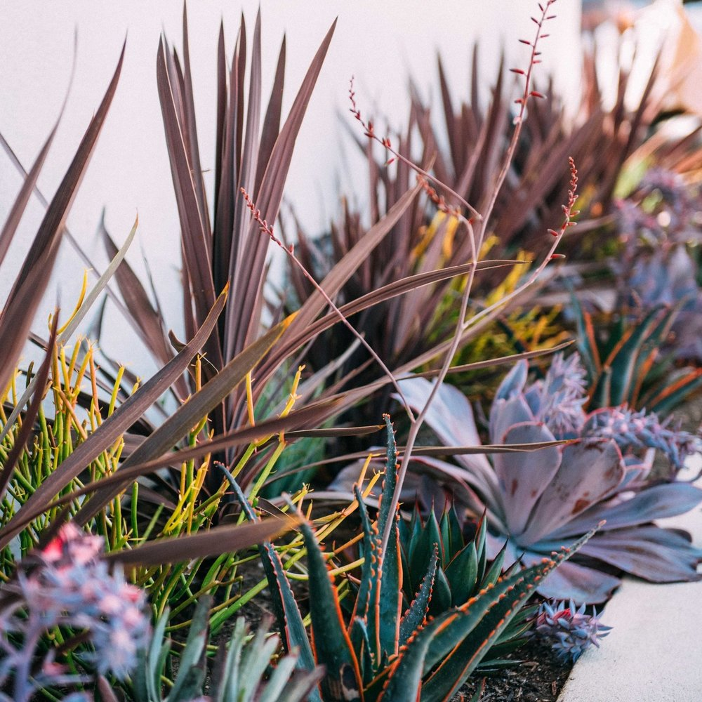 Container Garden includes a beautiful variety of low maintenance plants and succulents that includes, Swordfish Aloe, Echeveria 'afterglow', Agave 'blueglow', Euphorbia 'firestick', and red Cordyline - Design by The Potted Poppy, San Diego.