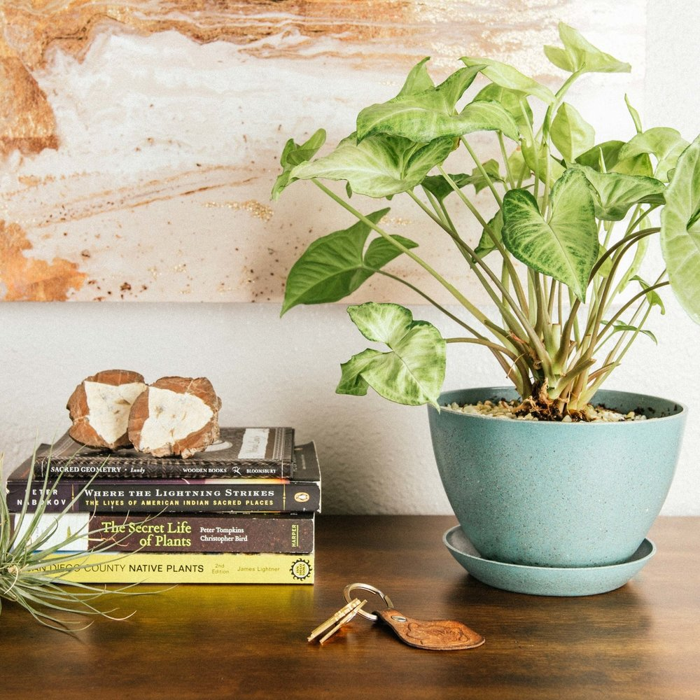 Plant sitting, plant family, plant babysitting, plant care, plant maintenance, interior plants, ecopot, biodegradable pot, ecoforms, Arrowhead Plant, Air Plant, natural interior design, geode, entryway table, turquoise pot  Plant Sitting By: The Potted Poppy, SD