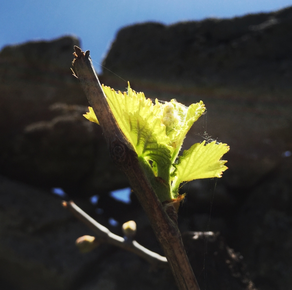 Grenache vine bunch sprout in Gredos vineyard (at 1.100 meters altitude!).