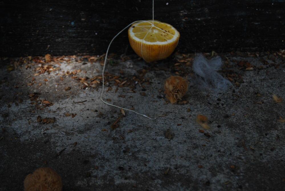 Lemon DSC_0108 .jpg