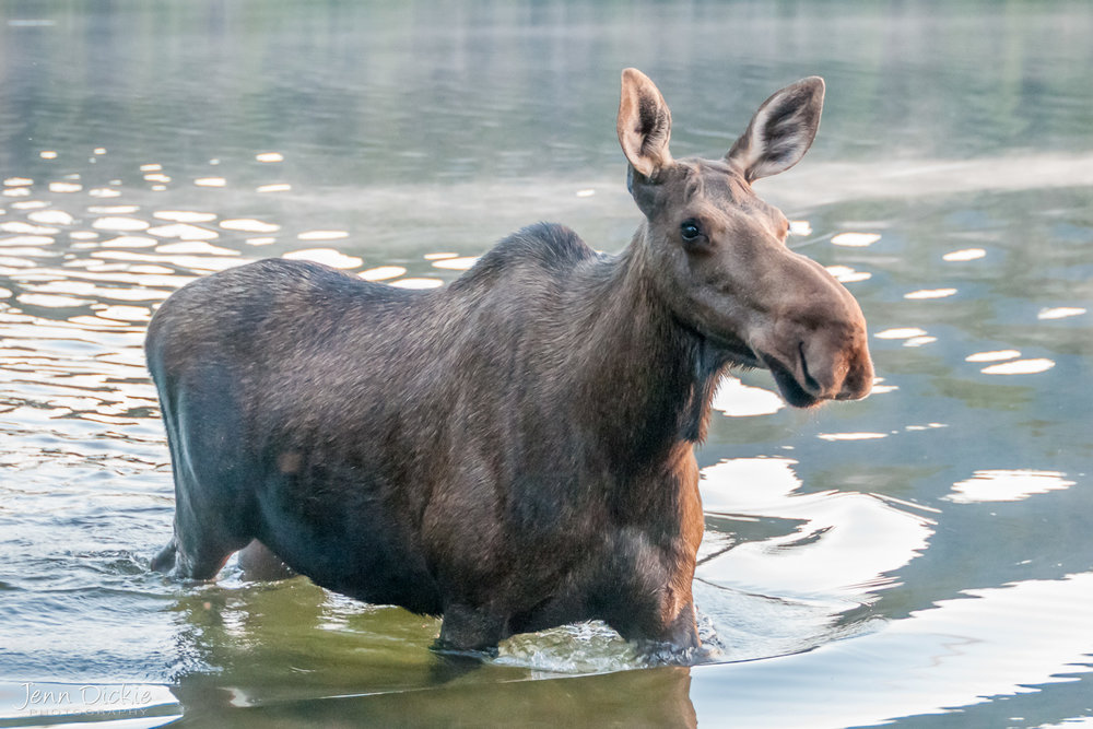 Moose of Kibbee