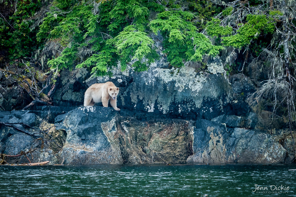 Spirit Bear Coast