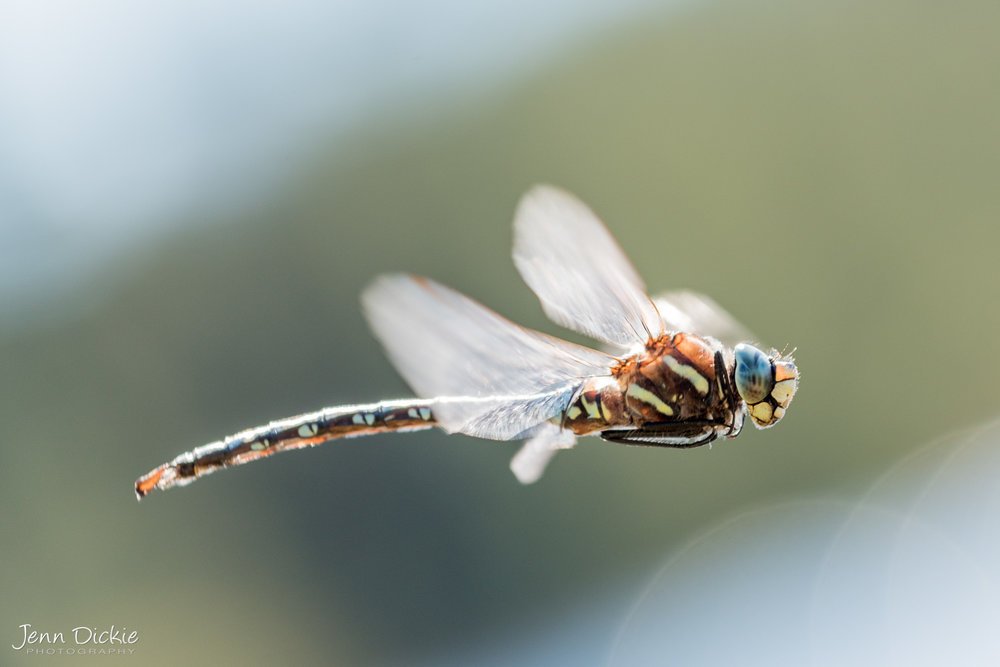 Dragon Fly Up Close