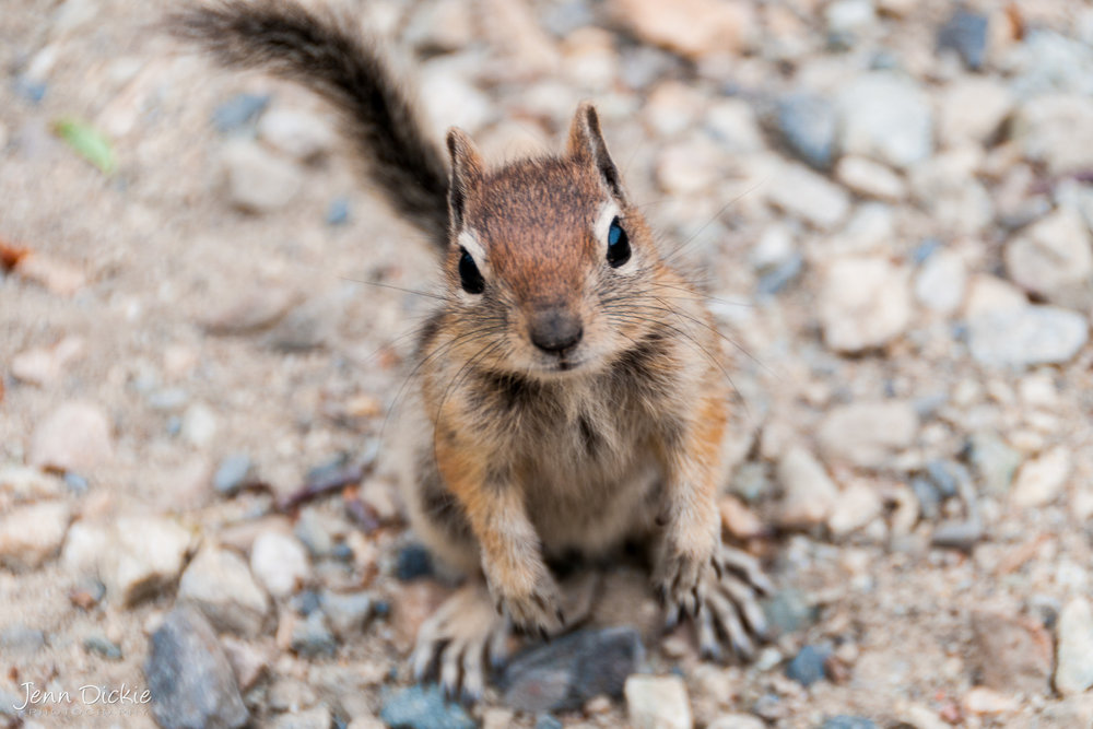 Inquisitive Chipmunk
