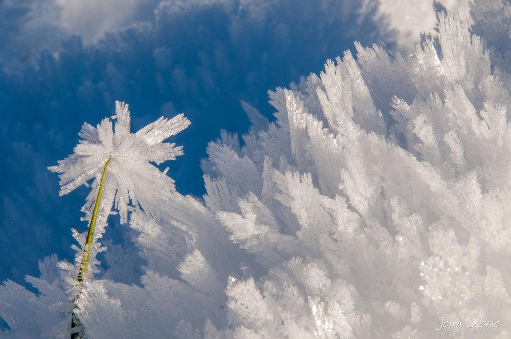 Hoar Frost Flower