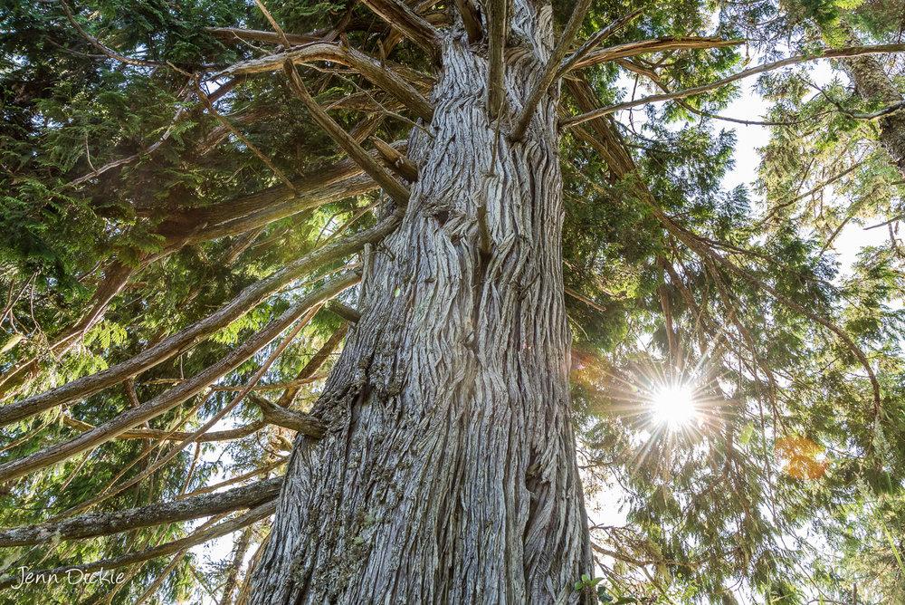 Mother Cedar