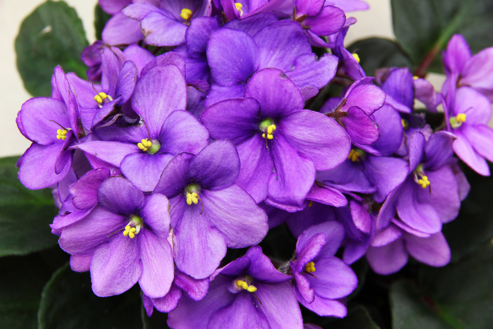 When in doubt, there's always African Violets!