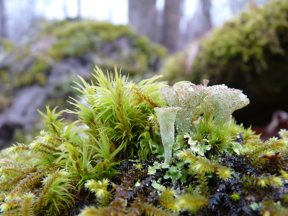 Mosses and lichens happily co-habit.