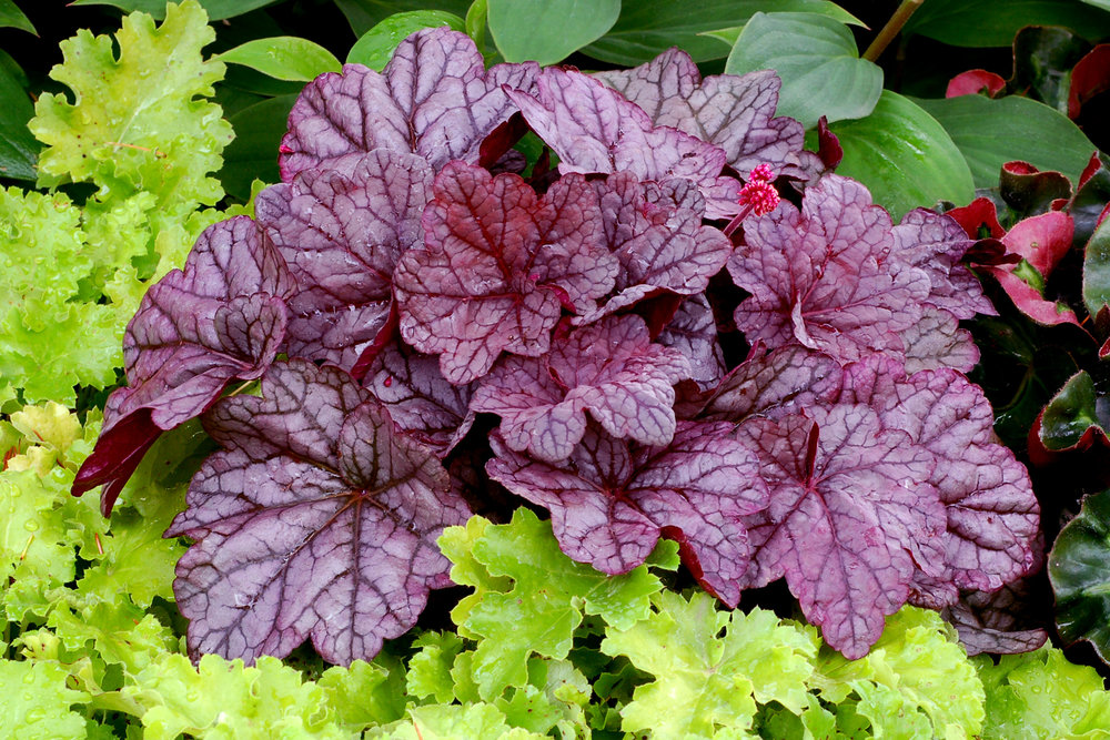 Heuchera, which stay evergreen throughout the winter, have undergone extensive hybridization with a colour range reminiscent of Coleus, albeit more subdued and low growing by comparison.