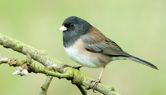 Watch for the flight of the juncos as spring approaches.