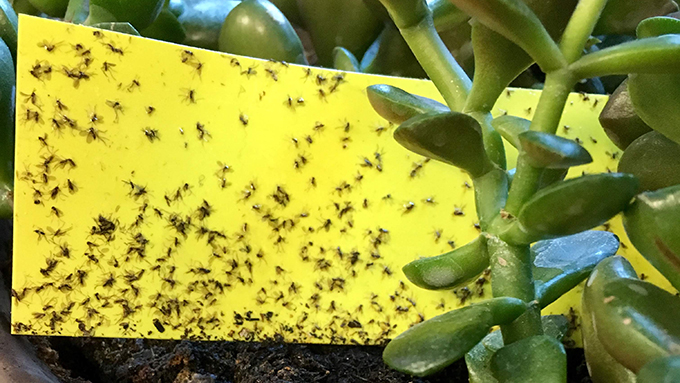 Beware the wily fungus gnat. A little yellow sticky trap will stop their forays.
