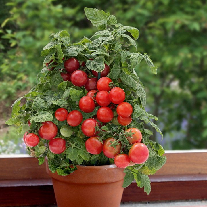 That first sweet bite of your home-grown tomato is reward enough!