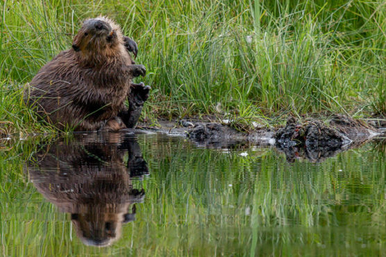Stanley Park's lakes support a healthy beaver population. (Mark White Photo)