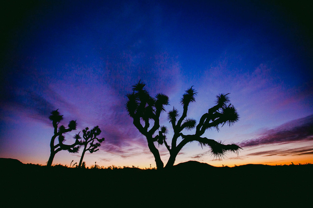 The more than iconic silhouette of a Joshua Tree.