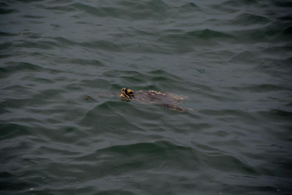 Green turtle in-water.jpg