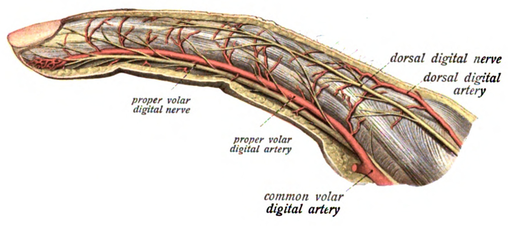 neurovascular supply of the human finger -  Sobotta's Atlas and Text-book of Human Anatomy 1909  - public domain via https://en.wikipedia.org/wiki/Proper_palmar_digital_arteries#/media/File:Sobo_1909_723.png